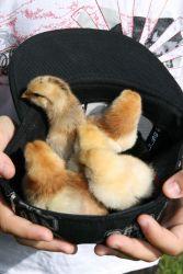 ducks in hat