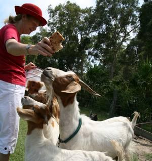 feeding_goat